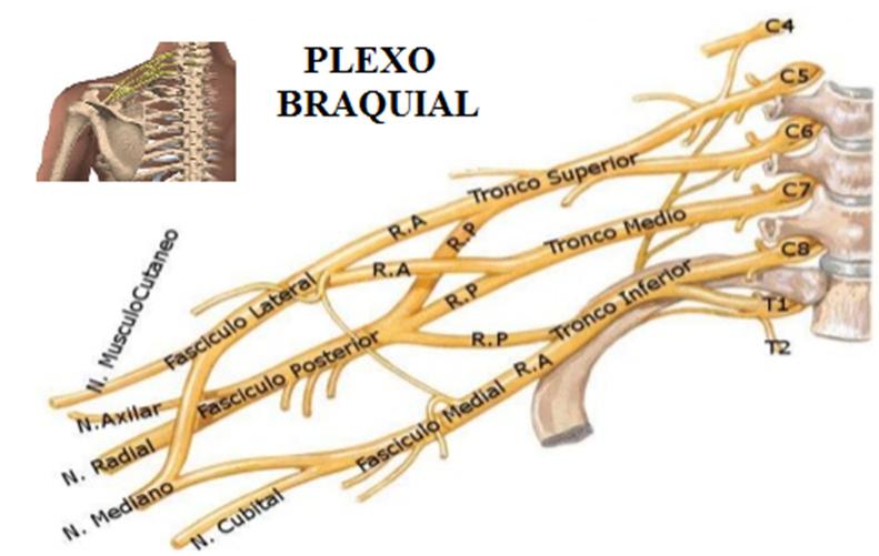 Plexo Braquial em provas de fisioterapia